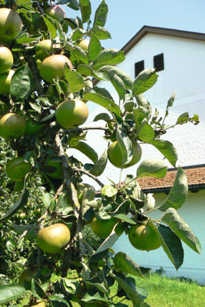 Apfelbaum Emmaus